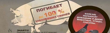 В Калужской области проводится работа по ликвидации двух очагов  африканской чумы свиней